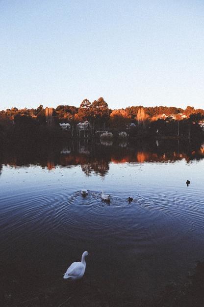 Daylesford Lake sunset duck swim 2