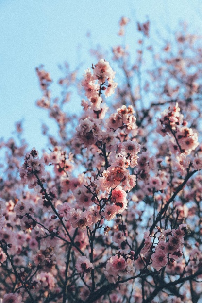 Cherry Blossom Festival Auburn Sydney 12