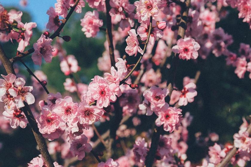 Cherry Blossom Festival Auburn Sydney 16