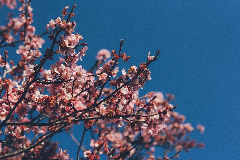 Cherry Blossom Festival Auburn Sydney 2