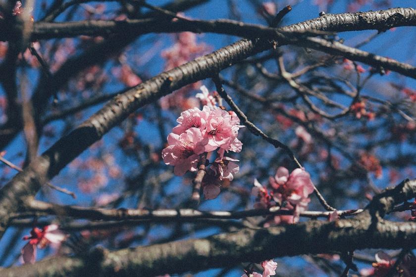 Cherry Blossom Festival Auburn Sydney 4