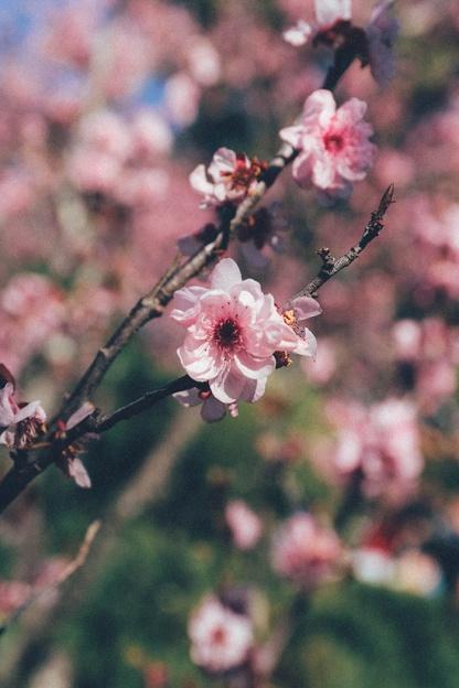 Cherry Blossom Festival Auburn Sydney 5