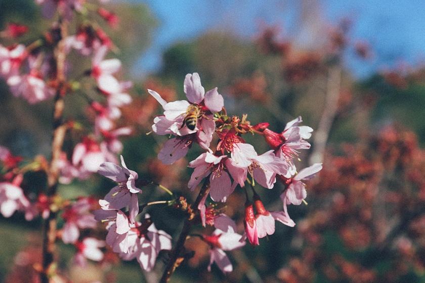 Cherry Blossom Festival Auburn Sydney bee
