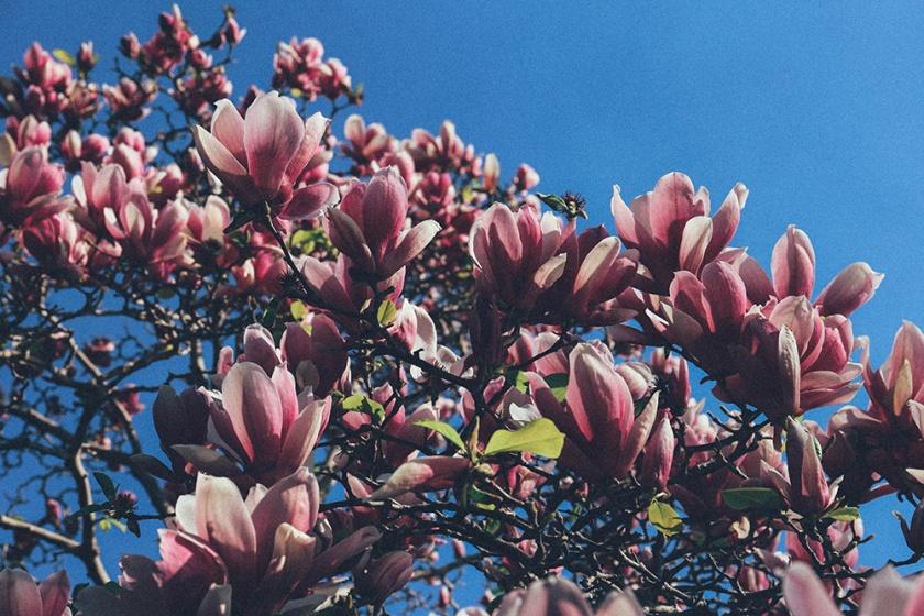Cherry Blossom Festival Auburn Sydney Magnolia 3