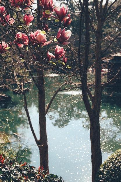Cherry Blossom Festival Auburn Sydney Magnolia 7