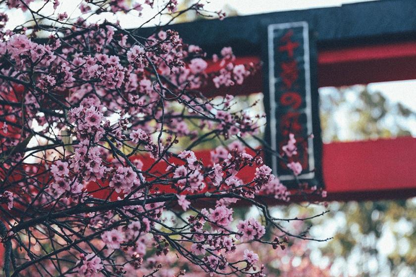 Cherry Blossom Festival Auburn Sydney tori 1