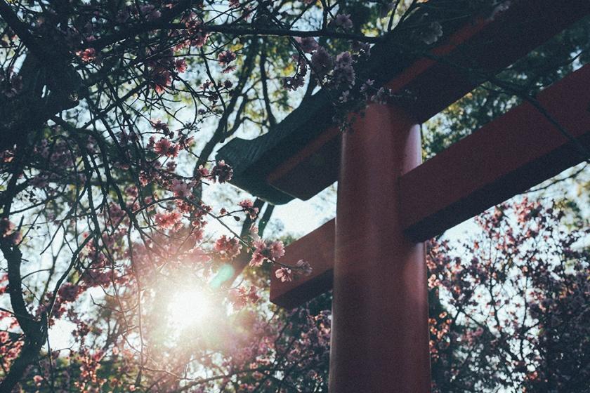 Cherry Blossom Festival Auburn Sydney tori 2