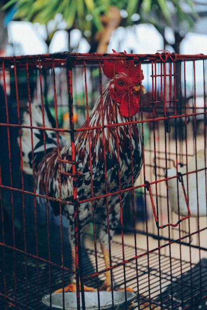 Nusa Lembongan beach morning rooster in cage