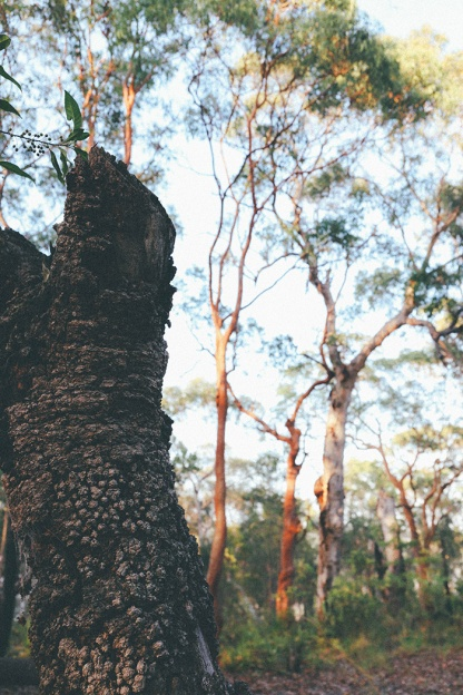 Berowra National Park Sunrise Sydney Barnett's Lookout trunk