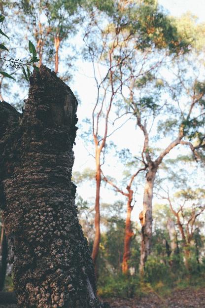 Berowra National Park Sunrise Sydney Barnett's Lookout trunk