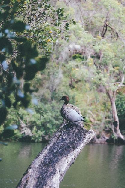 Berowra National Park Sydney Crosslands Reserve duck