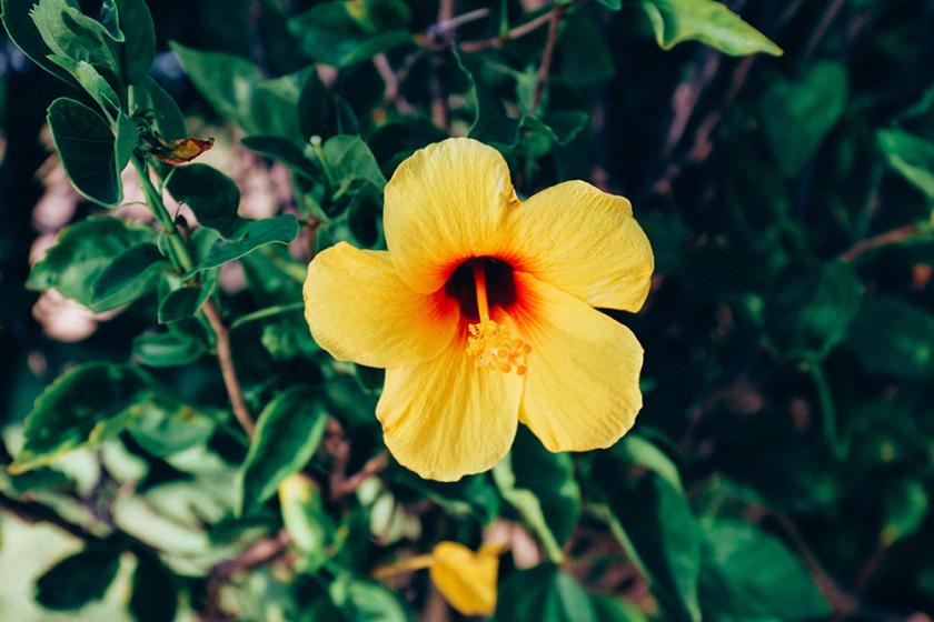 hibiscus Koa Kea sunset best hotels Kauai