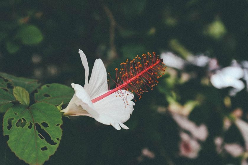 Kauai Hawaii Waimea Canyon flora flowers_